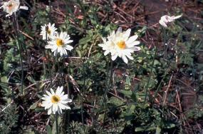 Anemone caroliniana - Carolina anemone
