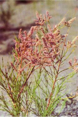 Tamarix chinensis Lour