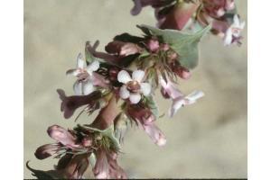 Penstemon acuminatus close up