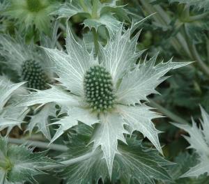 white eryngium
