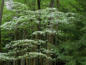 dogwood is an understory tree