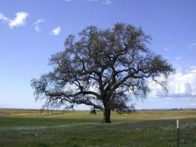 California white oak