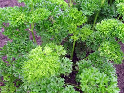 parsley herb garden