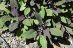 Salvia officinialis