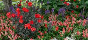 salvia mixed with other flowers
