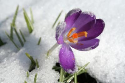 crocus popping up in late winter