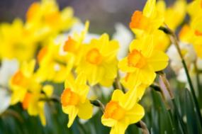 A list of spring flowers daffodilssource mightylinksfo