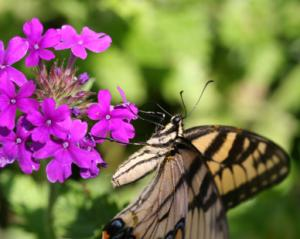verbena with butterfly