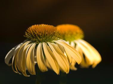 Echinacea_Sunrise.jpg