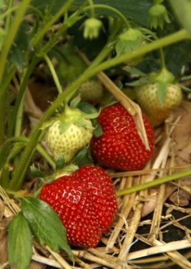 Mulched_Strawberries.jpg