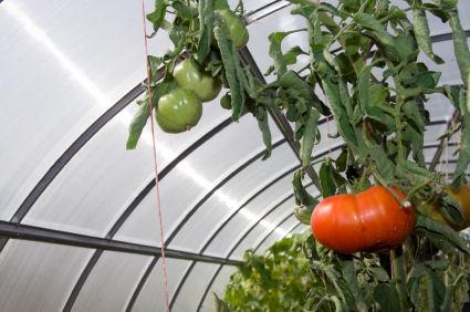 Greenhouse growing.