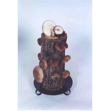 Shiitake Log