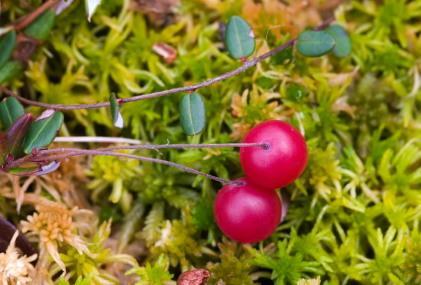 Growing Cranberries Lovetoknow