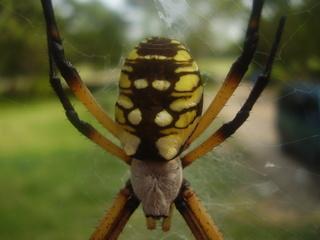 Orb_spider.jpg