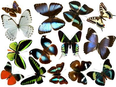 types of butterflies