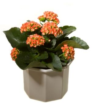 Kalanchoe | ToKnow on can see, can the lost tapes, can go, can get,