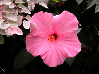 A pink hibiscus bloom.