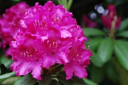 Rhododendron are shade loving shrubs
