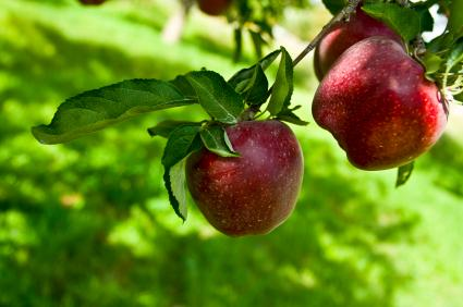 Planting apple trees correctly ensures success