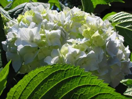 Hydrangea provide summer blossoms and fall color