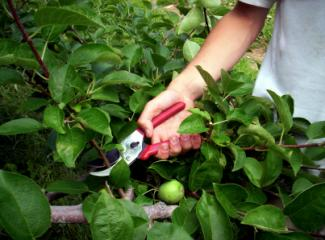 pruning with hand pruners