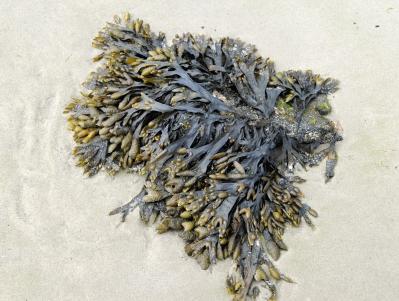 kelp is a fertilizer