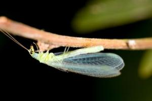 Lacewing2.jpg