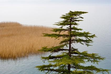 Pine_Tree_By_Lake.jpg