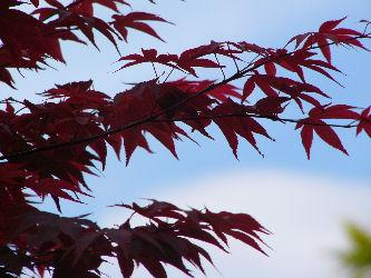 Japanese maples can be identified by their lacy foliage.