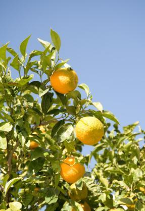 Discover how to plant an orange tree.