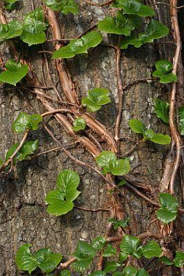 Hydrangea Vine