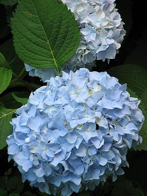 About Endless Summer Hydrangea