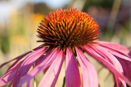closeup of purple coneflower