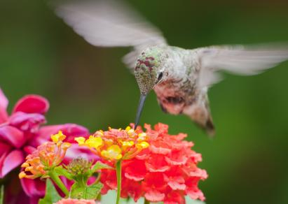 Hummingbird on lantana flowers