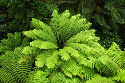 Tree fern lovetoknow - Cuidados de los helechos ...
