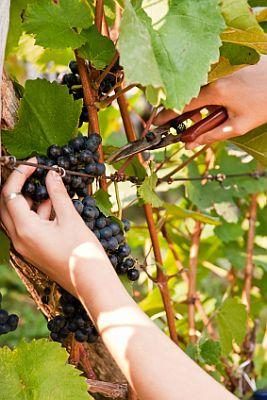 How To Prune Grapevines Lovetoknow