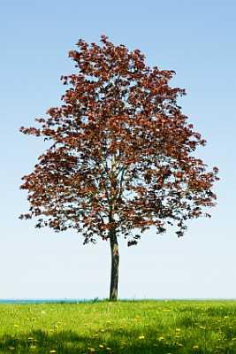 Crimson Norway Maple