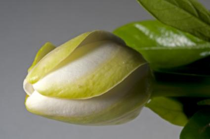 closeup of gardenia bud