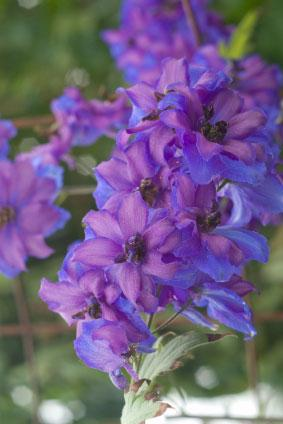 Annual Larkspur