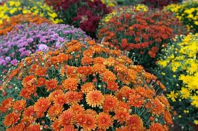 care of fall mums lovetoknow