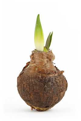 Spring Flower Bulb for Transplant