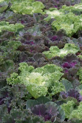 Frost tolerant kale