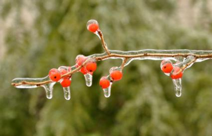 ice on red berries