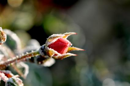 rosebud with ice on it