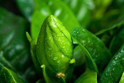 bud of gardenia