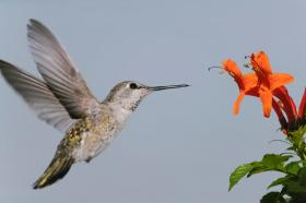 Hummingbird approaching a honeysuckle blossom