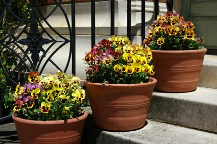 pots of pansies on front steps