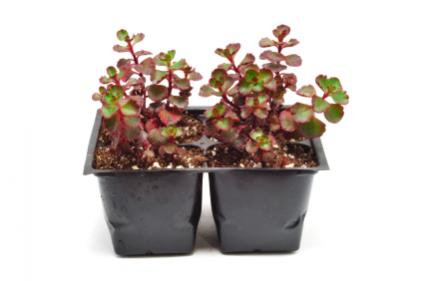 pots of creeping red sedum