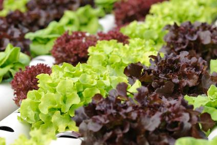 lettuce growing in hydroponic system