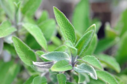 Sage (Salvia) Salbei